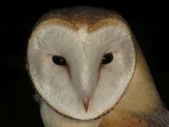 tyto alba (ze_da_binha) Tags: portugal birds alba lisboa aves owl coruja barnowl binha tyto corujadastorres tytonidae zedabinha