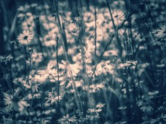 Life is not about finding yourself, it is about creating yourself. (***toile filante***) Tags: life flowers blue nature monochrome grass fairytale natur meadow wiese blumen poetic fantasy dreams wishes imagine imagination gras blau emotions leben mrchen phantasie trume wnsche gefhl poetisch