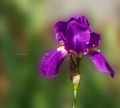 Iris (loobyloo55) Tags: flowers iris white flower green flora dof purple bokeh