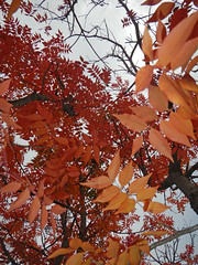 autumn leaves (fearless wallflower) Tags: autumn red sky orange brown tree leaves dead grey leaf branch stick dying