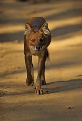ADS_000009194-crop (dickysingh) Tags: wild india nature animal forest mammal one wildlife jungle reddog approach frontal madhyapradesh kanhatigerreserve canid dhole asiaticwilddog cuonalpinus indianwilddog wwwranthambhorecom