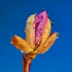 Crazy spring (DMCleveland) Tags: flower macro spring waterdrop blossom magnolia bud flowermacro waterdropmacro roccotaco