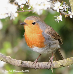 Spring Boy (GemElle Photography) Tags: red bird robin nikon gemelle redbreast sigma50500 d600 gemelle1