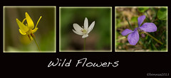Sweet Wild Flowers......... (bonnie5378) Tags: violet wildflowers troutlily inthewoods ilovemypics lovelylovelyphoto coloursoftheheart may2013 creativephotocafe colouredpetalsgarden