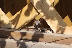 calgary garden mouse