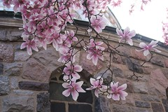 Pink Magnolias At the Window (marylea) Tags: pink flowers spring catholic michigan blossoms annarbor magnolia catholicchurch blooms magnolias stthomasaa stthomastheapostlecatholicchurch