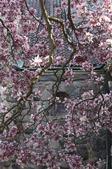 Magnolias Vertical (marylea) Tags: pink flowers spring catholic michigan blossoms annarbor magnolia catholicchurch blooms magnolias stthomasaa stthomastheapostlecatholicchurch