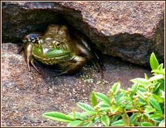 Big smile....ribbet! (MissyPenny) Tags: nature pond pennsylvania frog pa newhope buckscounty southeastern lahaska peddlersvillage southeasternpa pdlaich missypenny
