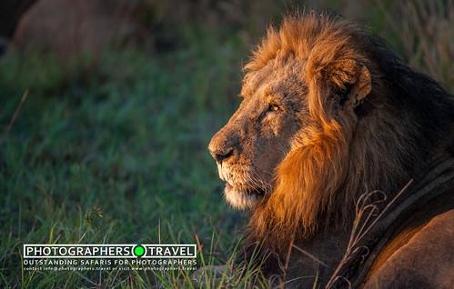 Kruger Male Lion