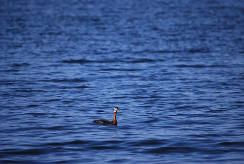 Red-necked Grebe (?)