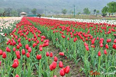 Srinagar tulip garden (T Ξ Ξ J Ξ) Tags: india tulip kashmir srinagar nikkor d300 teeje