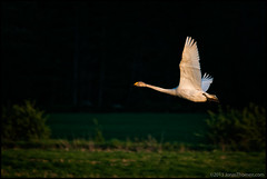 Swan (Jonas Thomn) Tags: bird field forest swan flight skog ker fgel svan