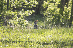 Day 141/365 (OjoshO) Tags: sun rabbit bunny green me nature grass animal standing self canon photography rebel dof bokeh wildlife photoaday 365 day141 project365 t4i 55250mm joshuaolszewski
