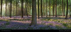 Beeches & Bluebells (H4RSX) Tags: bluebells woodland panoramic beechtrees micheldever micheldeverwoods