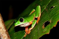 Tiger-striped Leaf Frog (Junglenews) Tags: amazon amphibians manaus treefrogs amazonas amazonia anura amphibia hylidae inpa anfíbios phyllomedusa anurans anuros reservaducke pererecas reservaflorestaladolphoducke