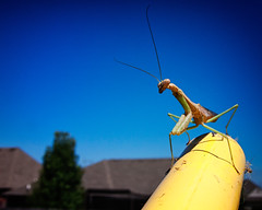 got his compound eyes on me (fallsroad) Tags: mantis insect prayingmantis panasoniclumixfz30 jenksoklahoma