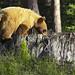 Grizzly Bear Cub on stump
