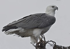 White-bellied Sea Eagle (birdsaspoetry) Tags: whitebelliedseaeagle westerntreatmentplant haliaceetusleucogaster