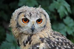 Owl. (konstantynowicz) Tags: york owl mygearandme mygearandmepremium mygearandmebronze mygearandmesilver mygearandmegold mygearandmeplatinum mygearandmediamond