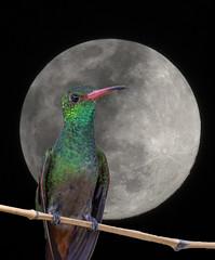 LUNA JUNIO 22 DE 2013 01 (jjarango) Tags: birding aves pajaros birdwatching colibr avesdecolombia birdingcolombia avesdecolombiaavescolombiabirdingbirdwatchingpjaros