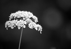 the bridesmaid (Ray Byrne) Tags: wild blackandwhite bw flower weed monotone raybyrne byrneoutcouk webnorthcouk