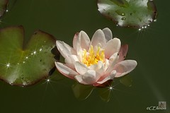 Seerose  / water lily (4) (Ellenore56) Tags: flowers light summer sun sunlight inspiration flower color colour detail macro reflection water floral botanical licht photo flora focus wasser foto waterlily lily blossom sommer magic perspective july explore bloom vista imagination outlook juli momen