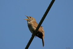 House Wren (Diane Marshman) Tags: blue summer sky brown house bird wire call singing tail small feathers tan short mating wren