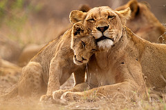 9616 (mrnickpage) Tags: africa travel nature animals canon southafrica cub tiere wildlife urlaub natur lion adventure safari afrika mammals lioness sdafrika krugernationalpark carnivore 2010 lwe bigfive pantheraleo lwin felidae sugetier abenteuer raubtiere canoneos7d thomasretterath canonef300lis28usm