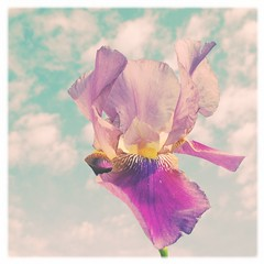 dancing in the breeze (*vanessa.) Tags: iris sky flower fleur clouds aqua purple pastel kawaii wispy softtones