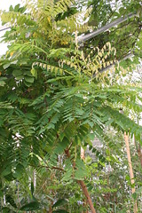 Averrhoa bilimbi - Komkommerboom - Botanische tuin Delft-3 (Ruud de Block) Tags: oxalidaceae averrhoabilimbi botanischetuintudelft komkommerboom botanicalgardentechnicaluniversitydelft ruuddeblock