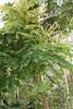 Averrhoa bilimbi - Komkommerboom - Botanische tuin Delft-3 (Ruud de Block) Tags: averrhoabilimbi komkommerboom oxalidaceae botanischetuintudelft botanicalgardentechnicaluniversitydelft ruuddeblock