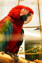 P1050002Axx (kanizfotolio) Tags: asian thailand eyes asia southeastasia bangkok parrot cage panasonic thai staring dmc fz50 hater pround aggrorance