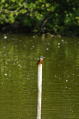 Brandon Marsh. 9th Aug 2013. A83_8081 (Imagine Bill) Tags: kingfisher brandonmarsh brandonmarshnaturereserve