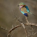 Lilac-breasted Roller - South Africa