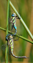 Anax imperator (Luis Diaz Devesa) Tags: blue españa macro green nature closeup bug insect fly wings spain europa dragonfly insects galicia galiza pontevedra darner cópula odonata copulation imperator copula aeshnidae anax 性交 anaximperator anaxjunius illadearousa isladearosa luisdiazdevesa акта 性交时,rapports