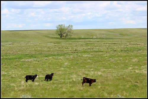 Calves gambolling in the green gras, summer is coming...