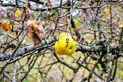 IMG_0874 (moutoons) Tags: fruit jaune automne rouge eau couleurs rivière pont porte nuage gorges tarn marron cascade arbre château champignon brume verte pomme croix feuille poire légume quézac lozère cévennes coing ispagnac