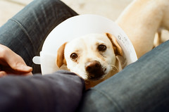 Cone of shame (Olivia~Kate) Tags: dog film pentax cone adorable 365 coneofshame