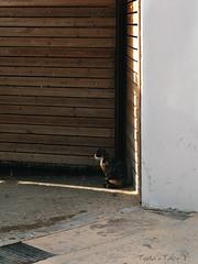 calico cat (Tania's Tales) Tags: street city light cats animal cat mammal feline streetphotography stray tortoiseshellcat calicocat garagedoor    streakoflight     fotografiastradale
