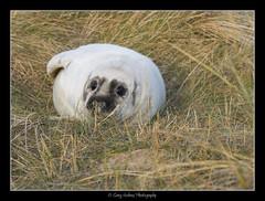 SEAL PUP 1  NORFOLK COAST (Snaps379) Tags: grey seal pup