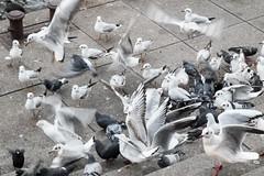 seagulls and pigeons (2) (Petra Wendt) Tags: seagulls birds pigeons gulls vgel mwe mwen tauben