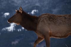 walking free (chaneyforkriver) Tags: park winter snow canada jasper national alberta
