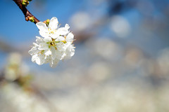 Snow White (Ted Tsang) Tags: plants flower bokeh taiwan olympus  macroshot em1 xinyi nantou    orientalplum beyondbokeh 1240mmf28 vision:mountain=0663 vision:sunset=0584 vision:outdoor=0684 vision:sky=0917 vision:clouds=0937