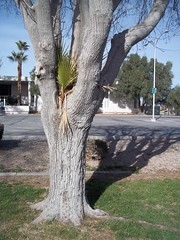 Symbiosis (time_anchor) Tags: trees plants palms landscapes lasvegas palmtree piggyback partnership bough symbiosis commensalism parasitism uniquetrees symbioticrelationships palmparasite