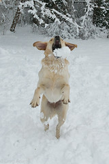 Lily playing catch with snowballs! (Greg Adams Photography) Tags: winter dog snow storm cold garden puppy golden jumping mix labrador play lily pennsylvania canine games retriever pa snowball catch playful 2014 hatboro montgomerycounty hhsc2000