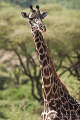 MasaiGiraffe-LakeManyara-08-20Dat200mm (Dan Bachmann) Tags: africa travel wild 20d canon tanzania place wildlife safari lakemanyara 2014 200mm danbachmann