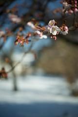 Cherry Blossoms /  (masaxmasa) Tags: tokyo shinjuku  cherryblossom    shinjukugyoen