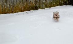 """2014 Feb 15 """"daisy is a bullet."""" (DeanQ.) Tags: vegas snow cute dogs animals photoblog sookie pack daisy reach {vision}:{sky}=0854 {vision}:{outdoor}=0891"""