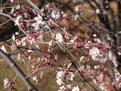 P2215179 (caligula1995) Tags: plumtree 2014 plumflowers