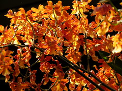 The Orchid Show (Renee Rendler-Kaplan) Tags: flowers light orange orchid canon colorful gbrearview orchids display blossoms exhibit northshore glencoe suburb blooms botanicgarden gapersblock wbez chicagobotanicgarden chicagoist freshflowers caughtmyeye multitudes welllit theorchidshow glencoeillinois reneerendlerkaplan canonpowershotsx40hs youmustbuyaticket nowthrumarch16th